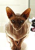 Hairless Sphynx Cat on Bathtub Ledge