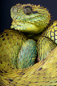 The Hairy bush viper is a large scaled spectacular snake species found in Central Africa.