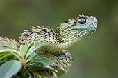 Hairy Bush Viper Ready to Strike - Venomous Snake