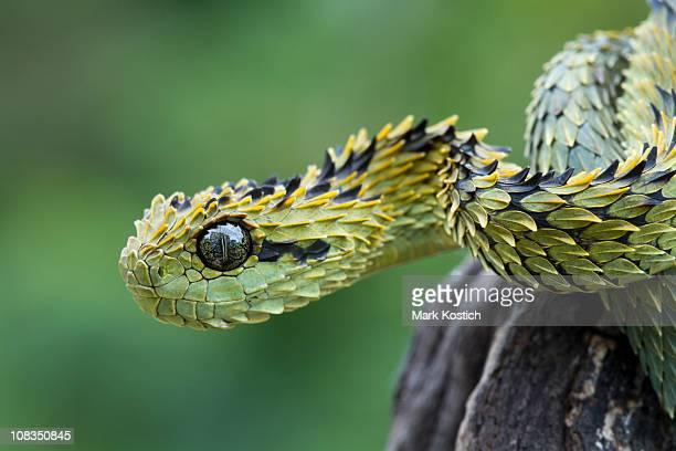 Hairy Bush Viper Snake