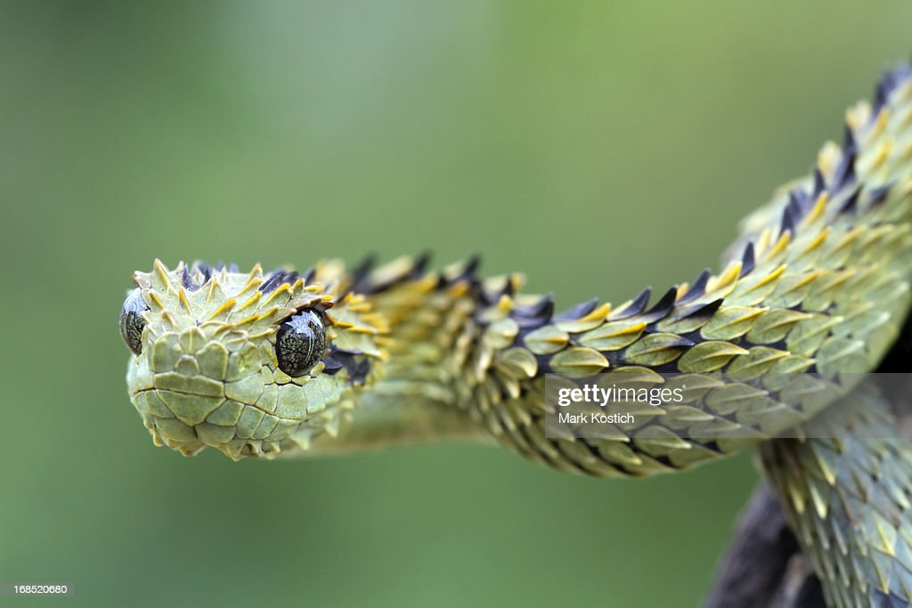 hairy bush viper snake stock photo getty images