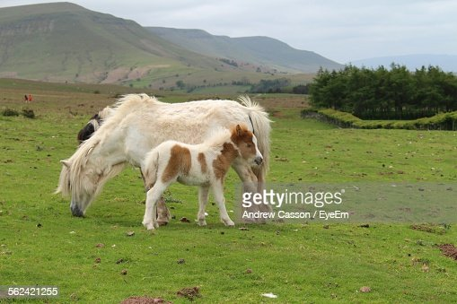 Hairy Horses Grazing In Pasture