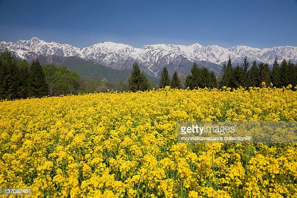 Hakuba mountain range and oilseed rape field, Nagano Prefecture, Honshu, Japan
