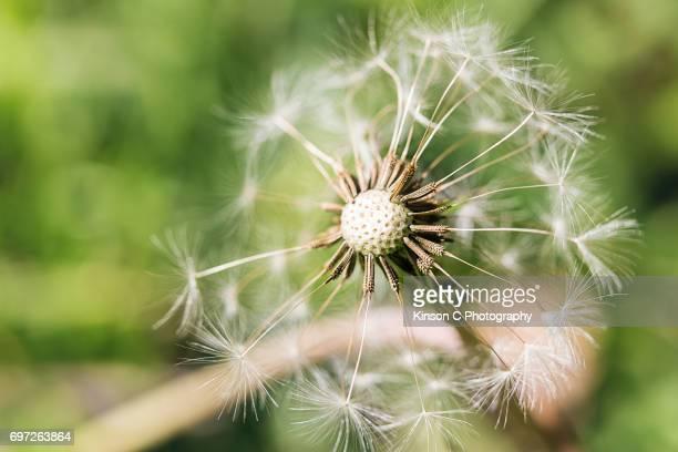 Half Dandelion Closeup