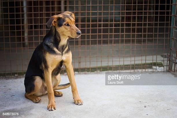 Half German Shepherd puppy sits in dog pound