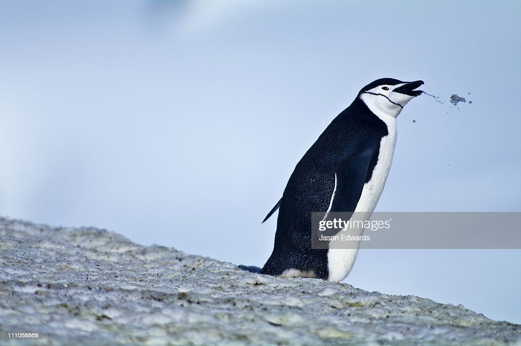 A Chinstrap Penguin regurgitates a mouthful of snow it was eating.