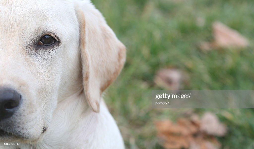 Half portrait of Sara Labrador retriever puppy : Stock Photo