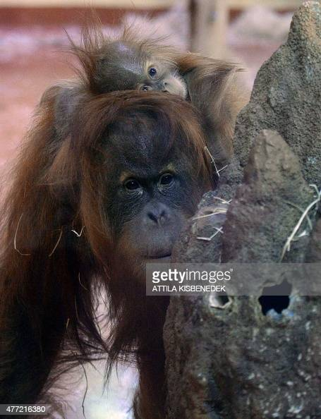 Halfayear old Sumatran orangutan baby Anna Hanna plays with her 13yearold mother Jula of Munich's Zoo in the monkeyhouse at Budapest Zoo on June 15...