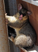 A halfdrowned brushtail possum seeks shelter in an upturned caravan on the banks of the swollen Burnett River in Bundaberg as flood waters begin to...
