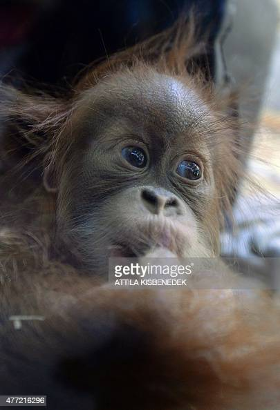 Halfyear old Sumatran orangutan baby Anna Hanna plays in the monkeyhouse at Budapest Zoo on June 15 2015 AFP PHOTO / ATTILA KISBENEDEK