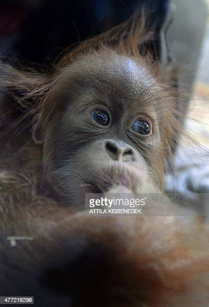 Halfyear old Sumatran orangutan baby Anna Hanna plays in the monkeyhouse at Budapest Zoo on June 15 2015 AFP PHOTO / ATTILA KISBENEDEK