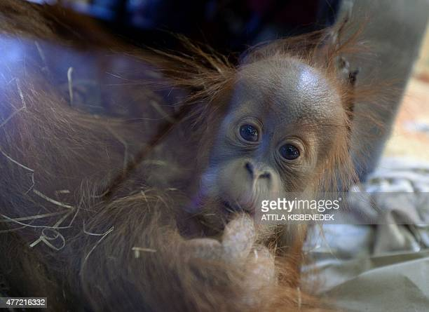 Halfyear old Sumatran orangutan baby Anna Hanna plays with her 13yearold mother Jula of Munich's Zoo in the monkeyhouse at Budapest Zoo on June 15...
