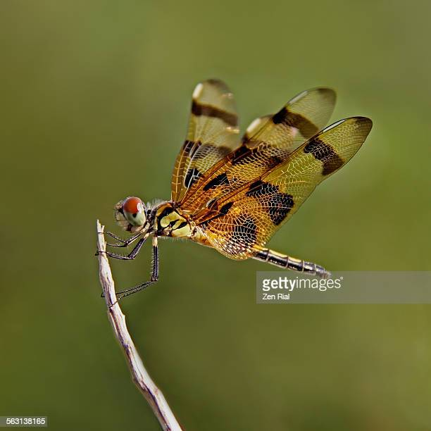 Halloween Pennant dragonfly perch on a stick