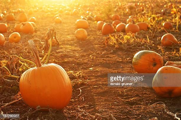 dessus de citrouilles d'Halloween dans un champ de potirons avec coucher de soleil