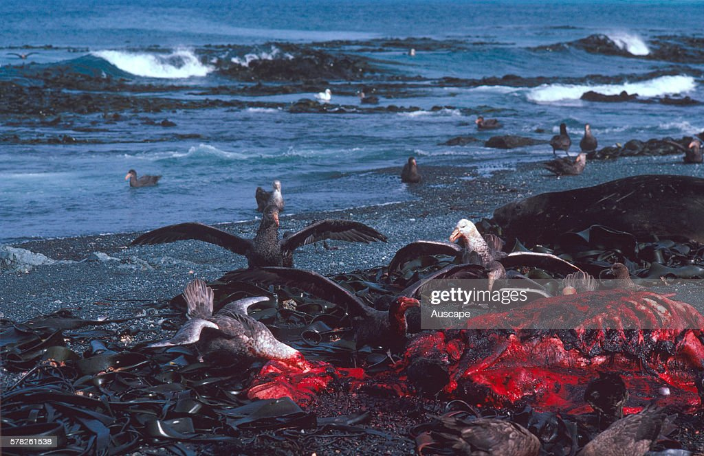 Hallês giantpetrels Macronectes halli feeding on a seal carcass Macquarie Island Sub Antarctic administered by Tasmania Australia