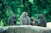 Hamadryas baboons grooming, Africa
