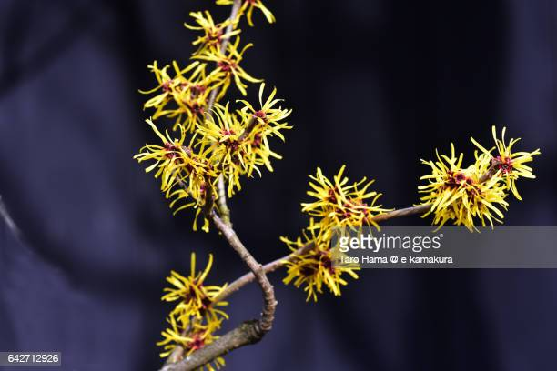 Hamamelis japonica, yellow-colored flower in temple