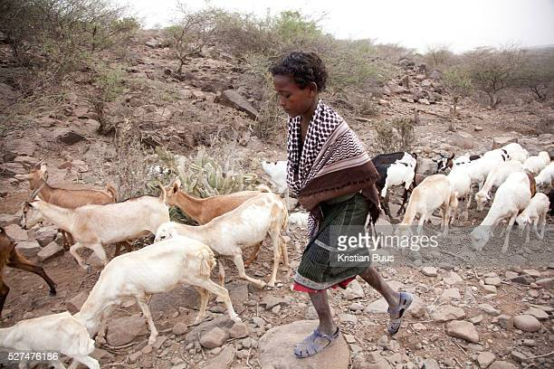 Hammed tends to his herd of goats His family is nomadic and at present they have set up tent near Delafagi one of the biggest towns in Afar The...