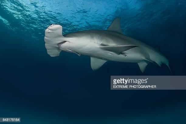 Hammerhead shark in the ocean