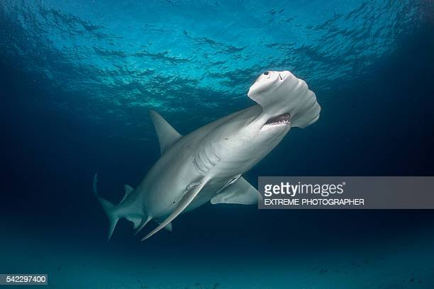 Hammerhead shark in the sea