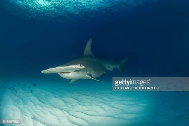 Hammerhai auf dem Meeresboden