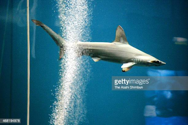 A hammerhead shark swims in a tank where a pacific bluefin tuna is left alive to check the water quality affect other fishes at the Tokyo Sea Life...