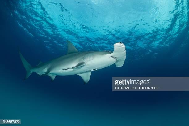 Hammerhead shark under the surface