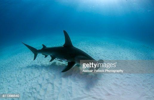 Hammerhead shark with dorsal fin presented