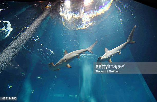 Hammerhead sharks swim in a tank where a pacific bluefin tuna is left alive to check the water quality affect other fishes at the Tokyo Sea Life Park...