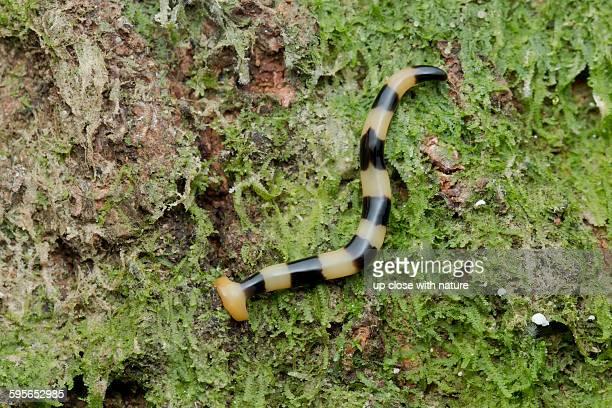 Hammerhead worm, bipalium sp., Malaysia