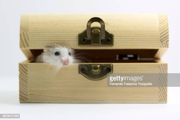 Hamster comes out of a wooden box