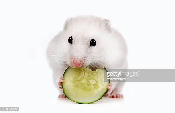 Hamster eating cucumber