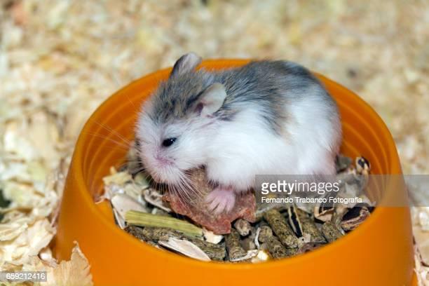 Hamster eats seeds inside a cage. Hamster roborowski  (Phodopus roborovskii)