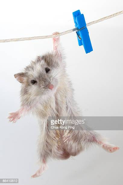 Hamster hanging on clothes line