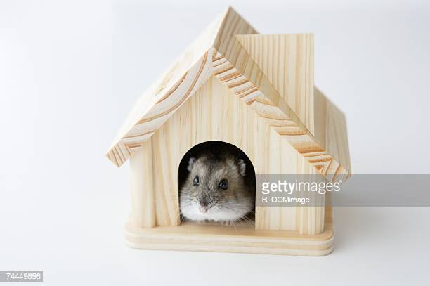 Hamster in house