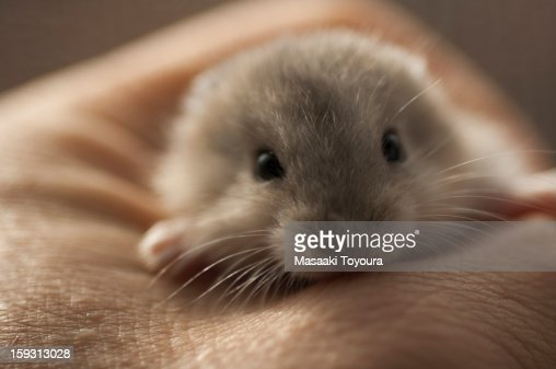 Hamster in my hand : Stock Photo