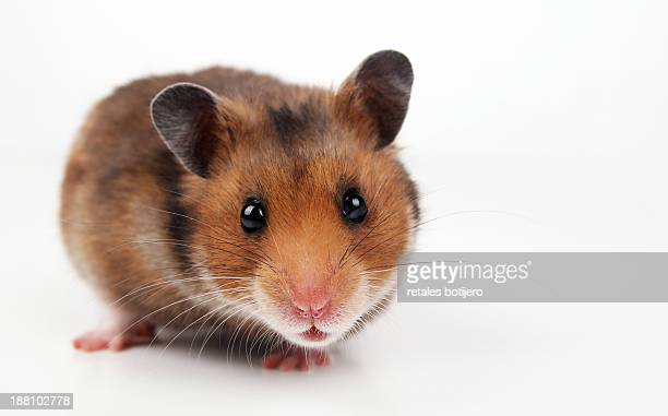 Hamster looking at camera