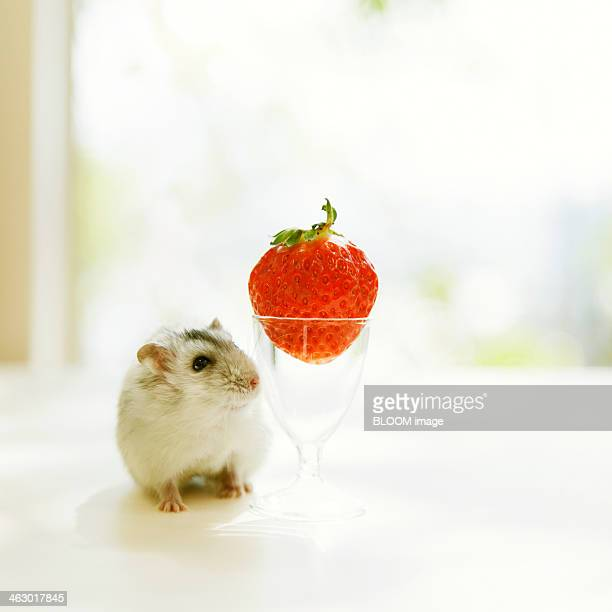 Hamster Looking At Strawberry
