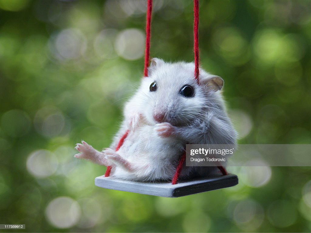Hamster on swing, Augusta in Park : Stock Photo
