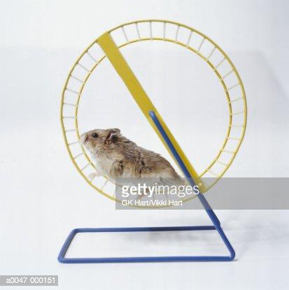 Hamster Running in Wheel