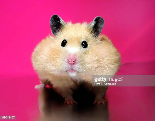 Hamster with stuffed pouches on pink background
