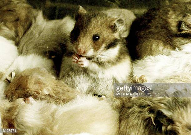 A hamsters eats as others sleep in a pet shop in the historical Egypt Bazaar Istanbul 02 April 2004 AFP PHOTO/Mustafa Ozer