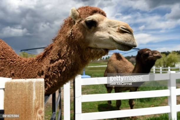Han Solo and Chewbaca the camels in their pen at Zoology Foundation's animal sanctuary on May 31 in Larkspur Colorado The Zoology Foundation runs a...