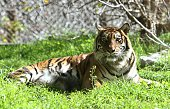 Hana a rare Sumatran tiger lies at the Biblical Zoo in Jerusalem on December 29 2014 Hana killed and ate her two fiveweekold cubs in a blow to its...