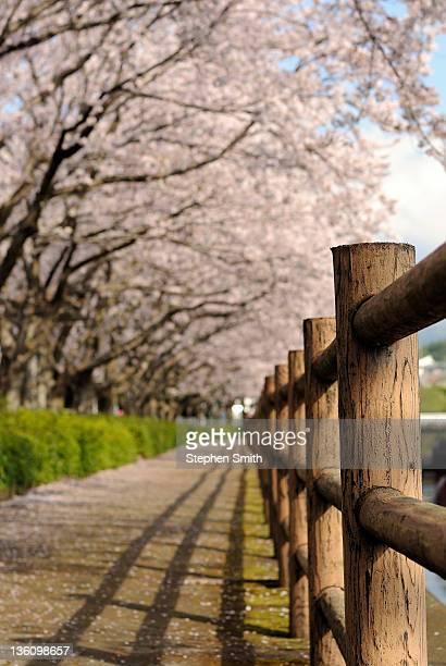 Hanami (cherry blossoms)
