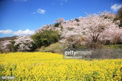 Hanamiyama Park in full bloom, Fukushima, Japan