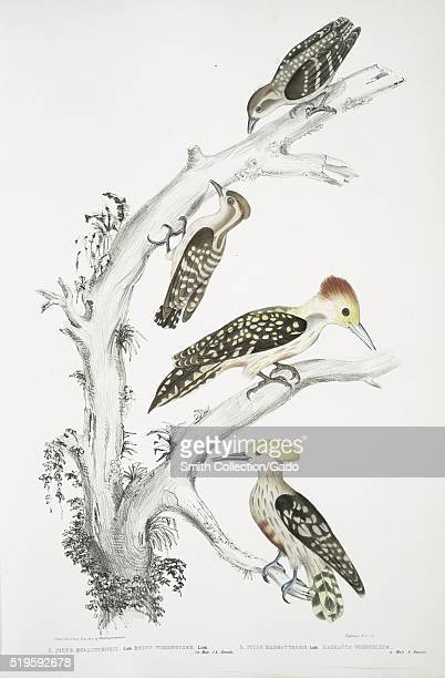 Hand colored print depicting a four birds perched on a tree the top two are the male and female Brown Woodpecker the bottom two are the male and...