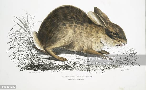 Hand colored print depicting a rabbit grass around it captioned Chinese Hare from the book 'Illustrations of Indian Zoology Chiefly from the...