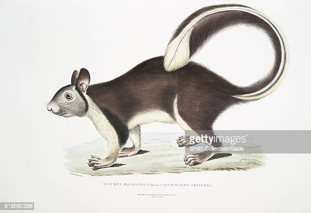 Hand colored print depicting a squirrel standing on four legs tail curled captioned Large Tailed Squirrel from the book 'Illustrations of Indian...