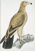 Hand colored print depicting an eagle standing on a branch captioned Tawny Eagle from the book 'Illustrations of Indian Zoology Chiefly from the...